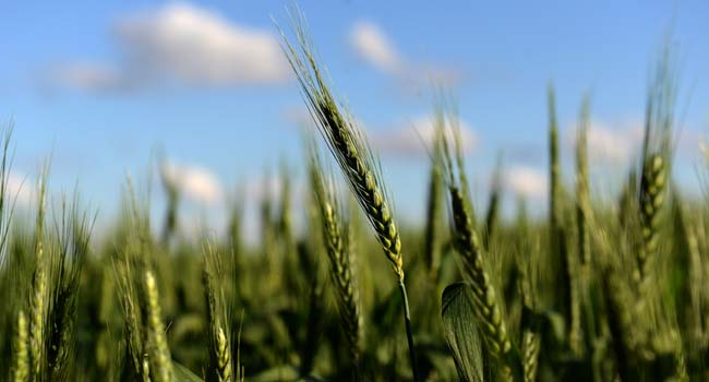 The scientific commission of Argentina's agriculture ministry said it had approved a drought-resistant variety of wheat in the world's fourth-largest exporter of the crop.